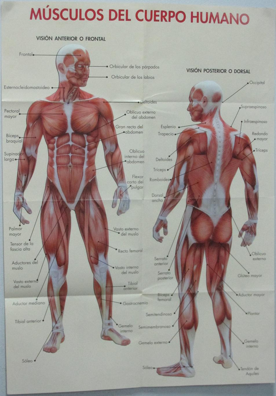 Masaje parte 7: el sistema muscular humano: los músculos del hombre