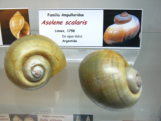 Asolene scalaris